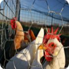 chickens-in-a-pen